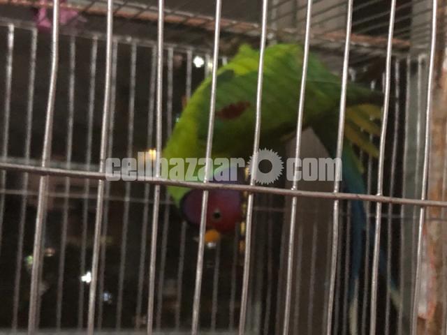 Plum headed parrot - 1/1