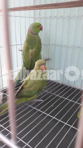Ringneck Parrot - 1/3