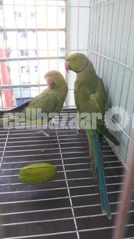 Ringneck Parrot - 3/3
