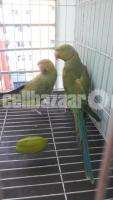Ringneck Parrot - Image 3/3