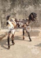 New Adult Female Goat