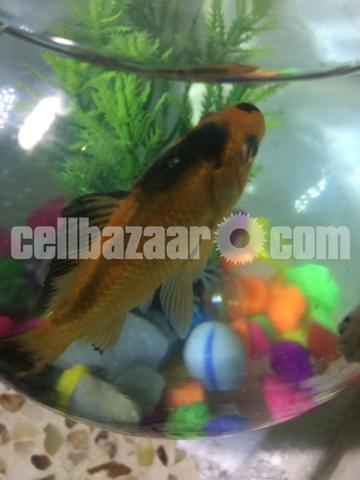 Gold fish with well decorated bowl - 1/3
