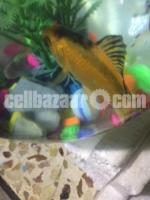 Gold fish with well decorated bowl