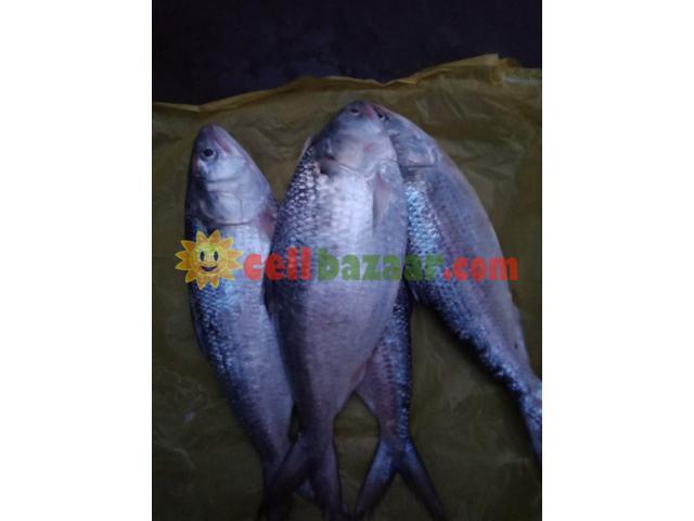 Ilish Hilsha fish - 1/2