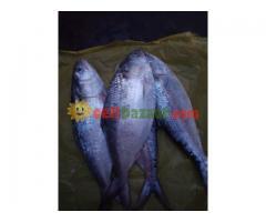 Ilish Hilsha fish - Image 1/2