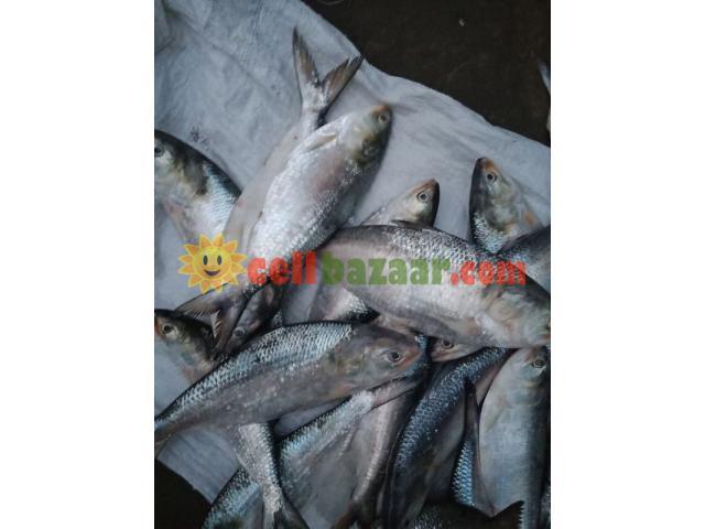Ilish Hilsha fish - 2/2