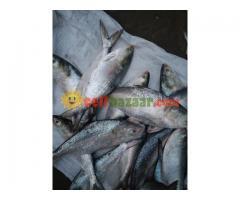 Ilish Hilsha fish