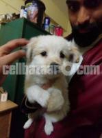 German spitz puppy female 4 months old