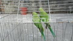Hindi ringneck parrot
