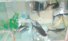 Aquarium Fishes for sale: Tiger Shark