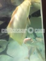 Aquarium Fish for sale: Big Albion Cat Fish