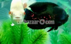 Aquarium Fishes for sale: Tiger Oscar fish & Albino Oscar fish.