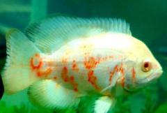 Aquarium Fishes for sale: Tiger Oscar fish & Albino Oscar fish.
