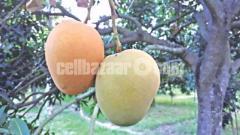 ১০০% ফরমালিন মুক্ত পিউর খিরসাপাতি আম।100% pure khirsati mango