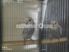 10ps half tame budgie with 18/12 cage