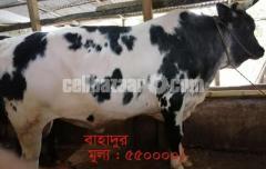 কোরবানির গরু বাহাদুর