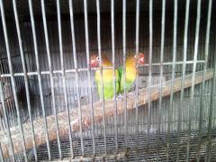 Love bird pair with 4 eggs