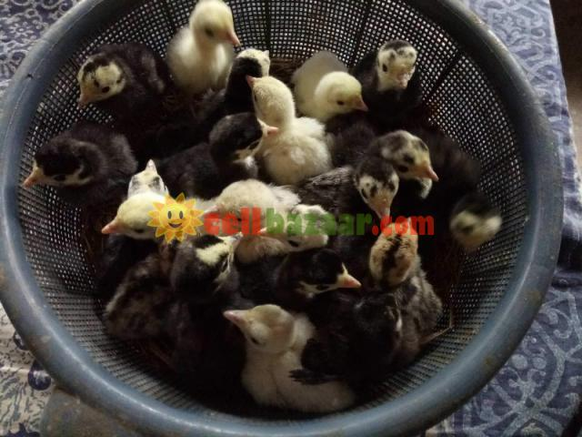 Incubator 112 egg Turkey - 1/4