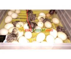 Incubator 112 egg Turkey