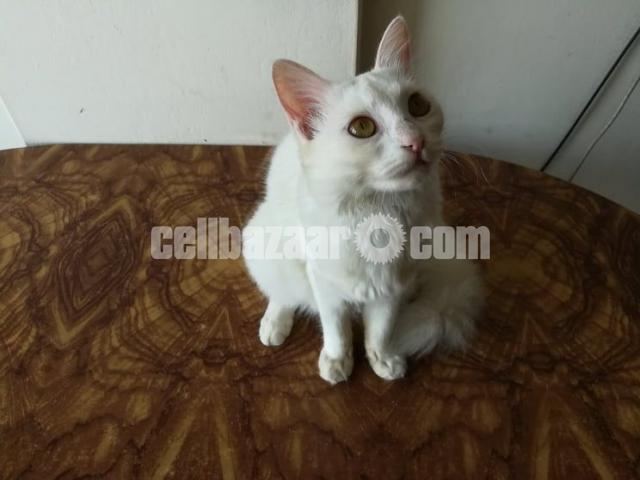 Persian female cat - 1/3