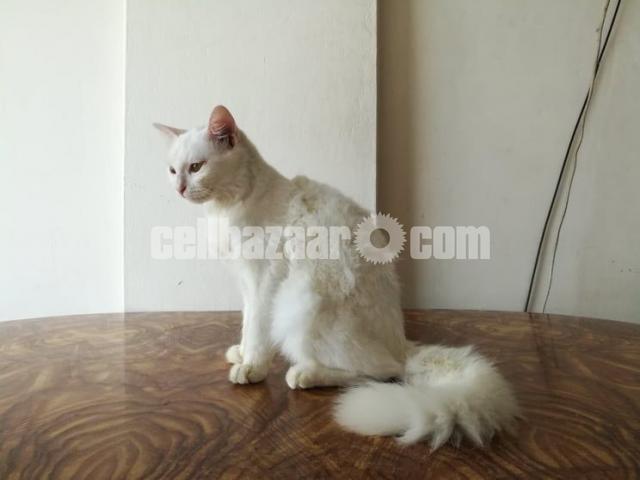 Persian female cat - 2/3