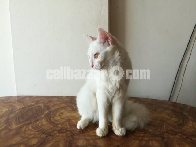 Persian female cat - 3/3
