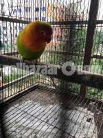 Love bird(Green fischer) / Female
