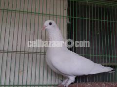 কালদুম কবুতর / Kaldum Pigeon (২ জোড়া)