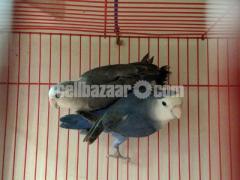 Love bird running pair