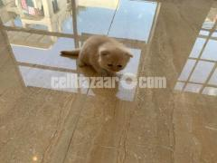 Purebred Persian kittens