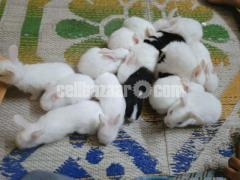 White & black Rabbit
