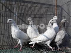 ৬ পিছ হাইফ্লাইয়ার কবুতর