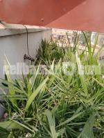Saudi kamranga date palm trees for sale . - Image 1/2