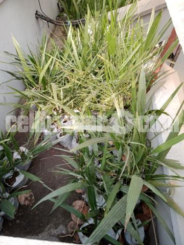 Saudi kamranga date palm trees for sale . - 2/2