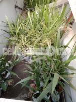 Saudi kamranga date palm trees for sale . - Image 2/2