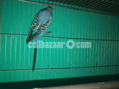 Full Adult long tailed Male Budgie