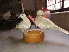 ঘুঘু অস্ট্রেলিয়ান/Australian dove