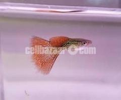 Guppy fish রঙিন মাছ