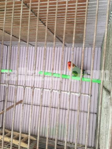 Lovebird pair - 1/1