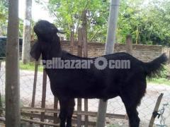 কুরবানির খাসি - Image 2/8