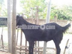 কুরবানির খাসি - Image 3/8