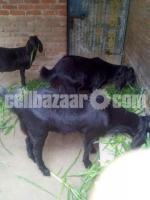 কুরবানির খাসি - Image 4/8