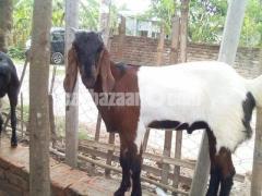 কুরবানির খাসি - Image 8/8