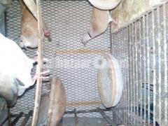 Australian ঘুঘু (এডাল্ট)