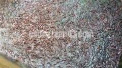 শিং মাছের পোনা 4000 line 3000 line 2000 line 1000 line