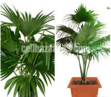 Chaina Palm Plant