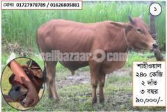 Kurbani Cow Sell – কোরবানির গরু বিক্রয়