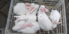 Semi adult & Baby rabbit