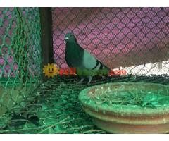 homa pigeon