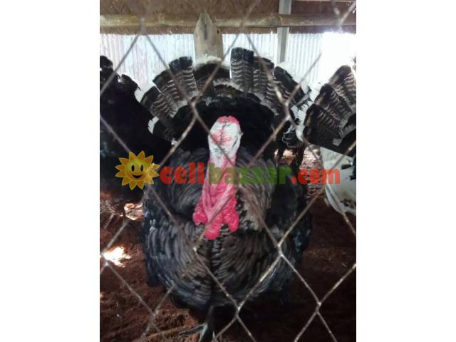 Turkey sale at jhenidah - 1/4